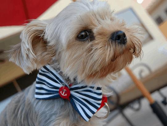 july 4th dog collar