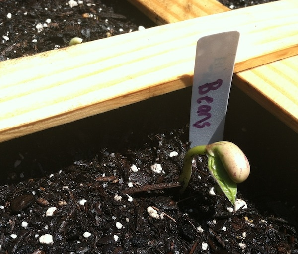 square foot gardening bean sprout