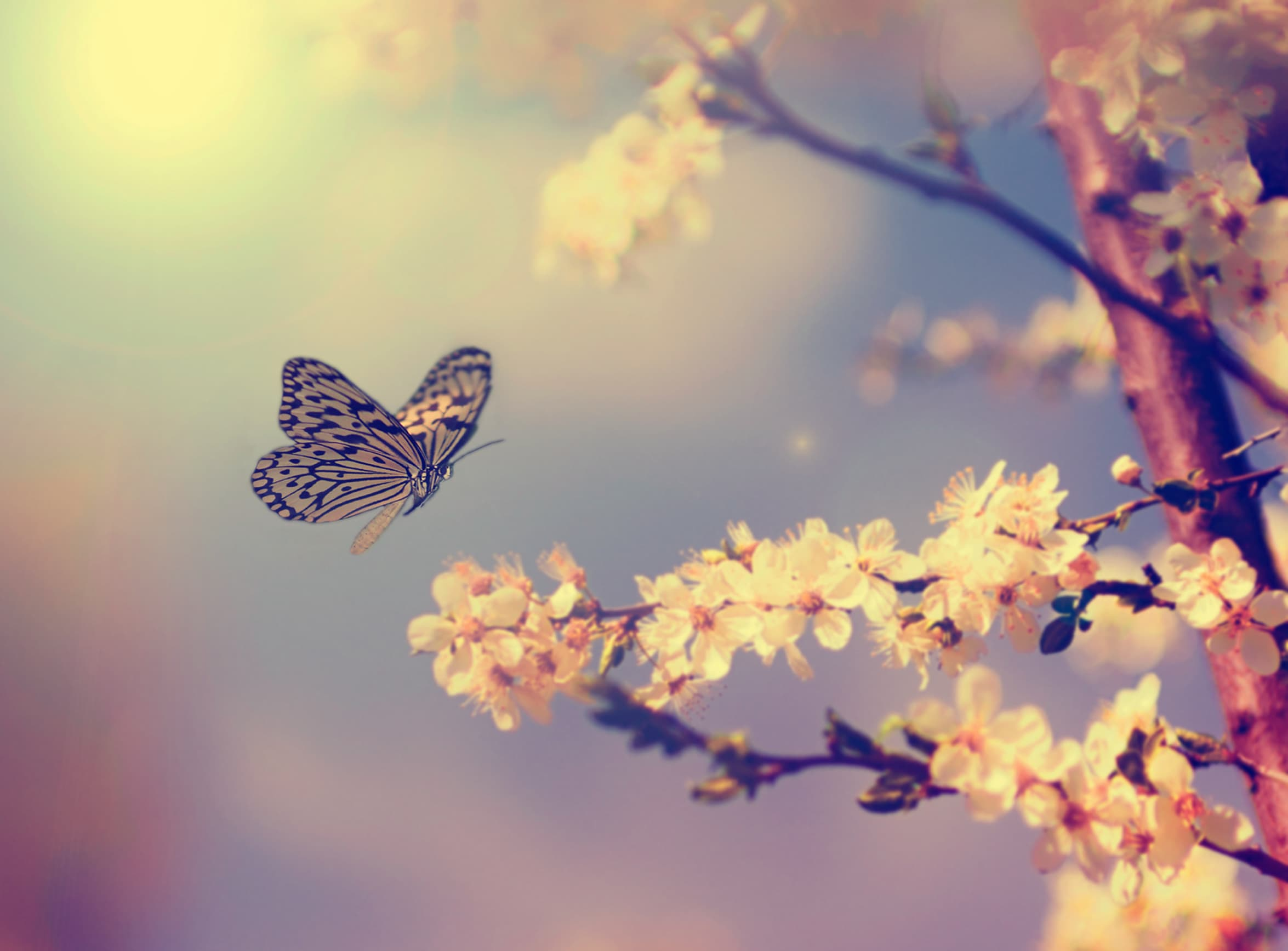 Butterfly and cherry blossom