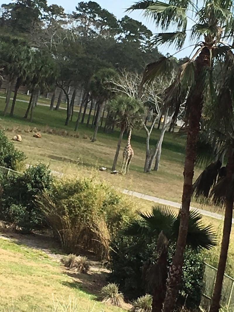 Animal Kingdom Lodge Disney World Giraffe Outside Safari