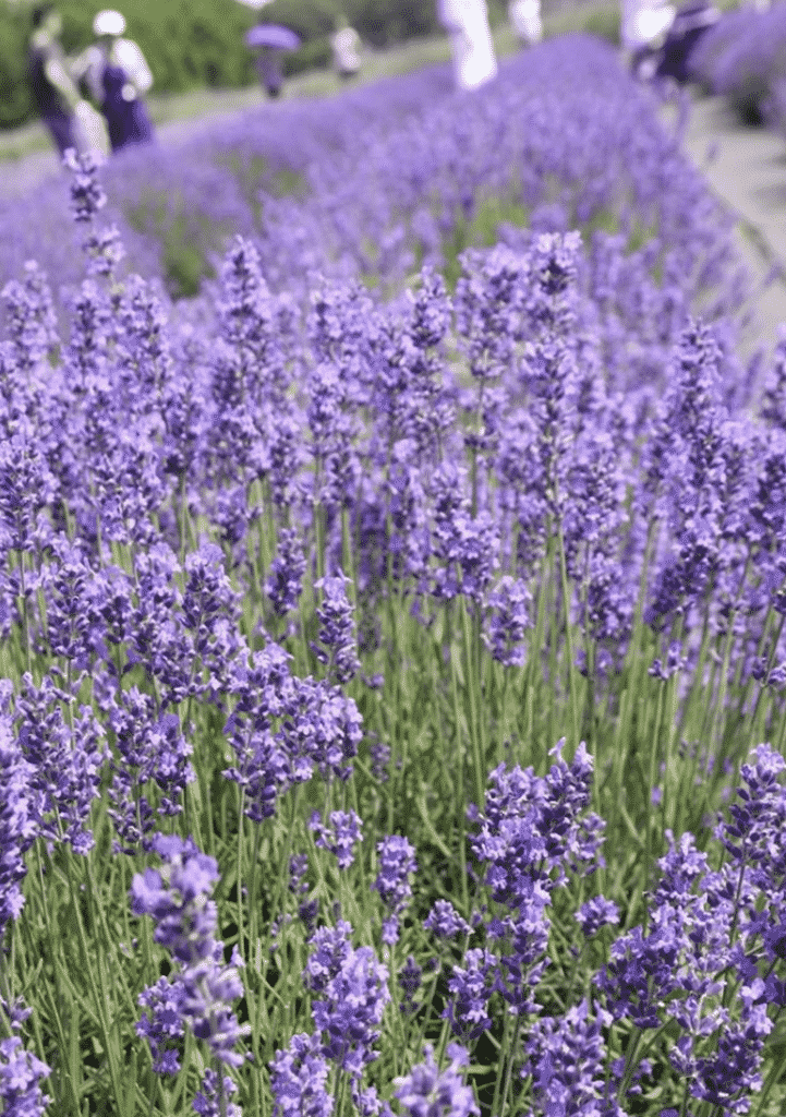 Love The Scent Of Lavender?  Stay #NaturallyInspired With Tom's Of Maine #GoodnessCircle