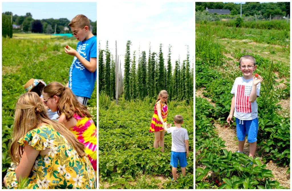 picking strawberries by stem on north fork