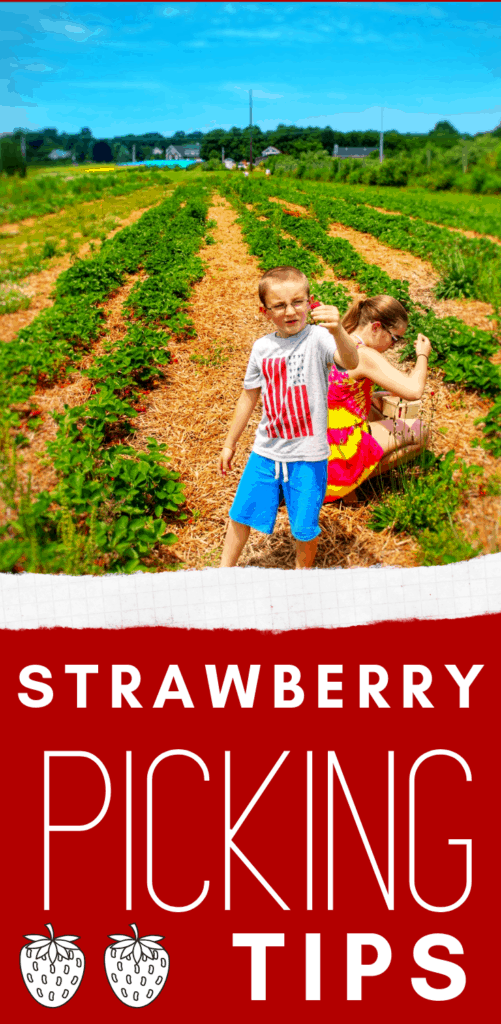 strawberry picking tips